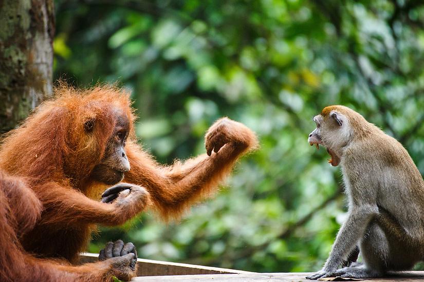 A child Sumatran orangutan (Pongo abelii) fights with a macaque  over a banana in Gunung Leuser National Park in Northern Sumatra.