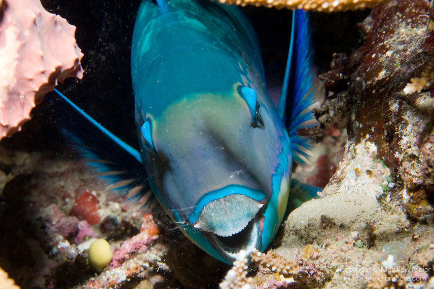 Paradise House Reef, Taveuni, Fiji; a blue and green Bullethead Parrotfish (Chlorurus sordidus) hides within the coral reef at night, it has started to create a mucus cocoon in which it sleeps