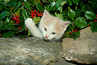 Cute white and yellow kitten playing with holly berries near rock wall