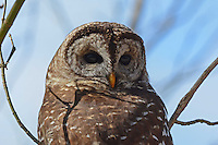 """Courtesy photo/TERRY STANFILL<br /> HOOT OWL<br /> A barred owl, sometimes called a hoot owl, roosts in west Benton County. Barred owls are known for their call that sounds like """"Who cooks for you?"""" Barred owls often call back and forth to each other in forests at night. Terry Stanfill of the Decatur area took the photo near his home."""