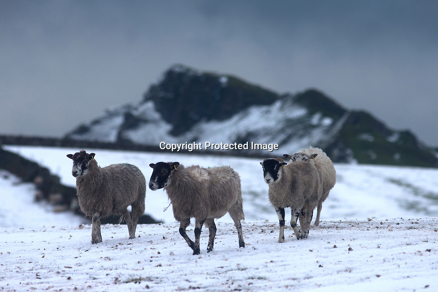 02/03/17<br /> <br /> Sheep wake to a snowy landscape near Parkhouse Hill after overnight snowfall near Longnor in the Derbyshire Peak District.  <br /> <br /> All Rights Reserved F Stop Press Ltd. (0)1773 550665 www.fstoppress.com