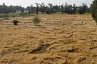 EGYPT, Bilbeis, Sekem organic farm, desert farming, diversity, trees and wheat fields , in the year 1977 here was only desert / AEGYPTEN, Bilbeis, Sekem Biofarm, Landwirtschaft in der Wueste, Biodiversitaet, Baeume und Weizen Felder