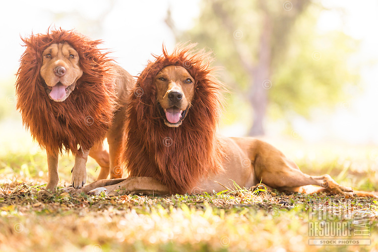 Two dogs dressed up in Halloween lion costumes, North Shore, O'ahu.