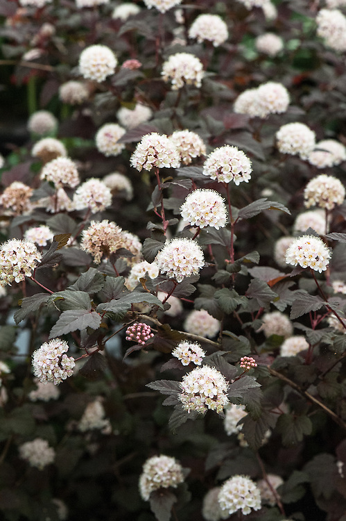 Physocarpus opulifolius 'Lady in Red'. A compact, deciduous shrub with lobed, doubly-toothed, veined, red- to red-purple leaves and clusters of small pale pink flowers in summer followed by pale brown to red fruit in autumn. Alternative names include: Ninebark 'Lady in Red', Physocarpus opulifolius 'Tuilad', Spiraea opulifolius 'Tuilad'.