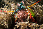 Lembeh Strait, Indonesia; a peacock mantis shrimp carrying eggs emerging from its burrow in the sea floor