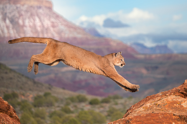Cougar jumping the red rocks in Utah - CA