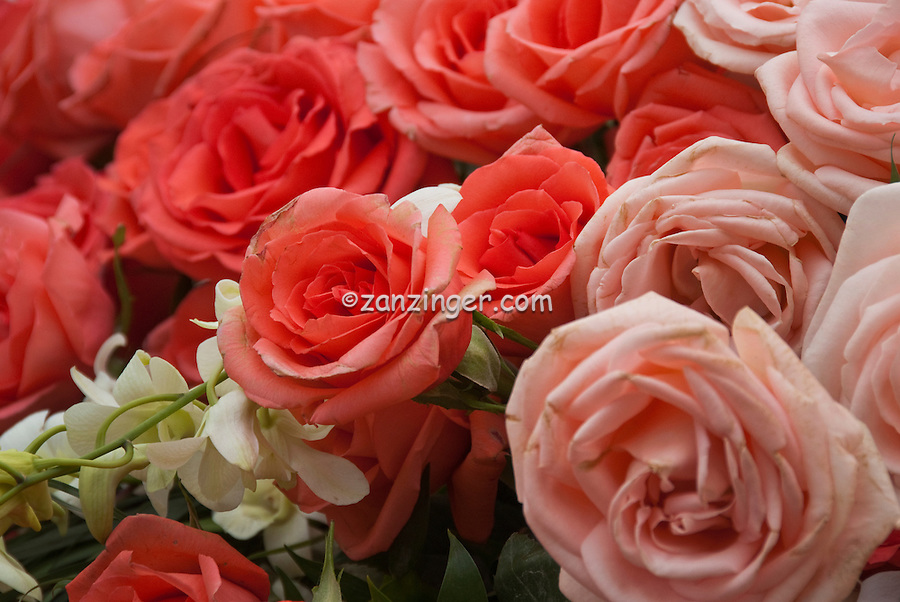 Peach and Pink Roses, Close up, roses, Love, bloom, blooming, blooms, blossom,  Red, color, flora, flower, flowering, flowers, nature,