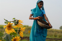 INDIA Madhya Pradesh , organic cotton project bioRe in Kasrawad  , trial farm crop rotation and intercroping with sunflower, woman apply compost / Indien Madhya Pradesh , bioRe Projekt fuer biodynamischen Anbau von Baumwolle in Kasrawad , Versuchsfarm Fruchtfolge und Zwischenfrucht Sonnenblume, Frau bringt Kompost aus