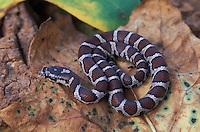 Milk snake; Lampropeltis triangulum triangulum; juvenile; PA, Philadelphia