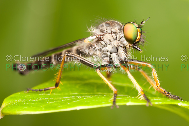 Robber Fly (Neoitamus flavofemoratus) - Male, West Harrison, Westchester County, New York