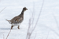 A Sharp-tailed Grouse (Tympanuchus phasianellus) in Southcentral Alaska. Photo by James R. Evans