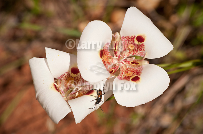 Mariposa lily flowers in bloom, Pine Grove, Calif...(Calochortus venustus)