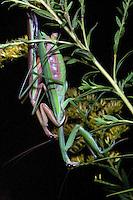 Praying mantises mating at night on goldenrod; Tenodera aridifolia; Philadelphia, PA