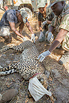 Cheetah (Acinonyx jubatus) veterinarian, Kambwiri Banda, biologist, Kim Young-Overton, and park scout, Charles Kalatambala, collaring twenty-one month old sub-adult female, Kafue National Park, Zambia