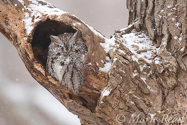 Eastern Screech-Owl (Otus asio), adult gray morph, sleeping in the entrance to its roost hole in a hollow tree on a snowy day in winter, New York, USA