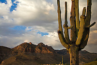 A saguaro in the setting sun, with Pusch Ridge in the background.