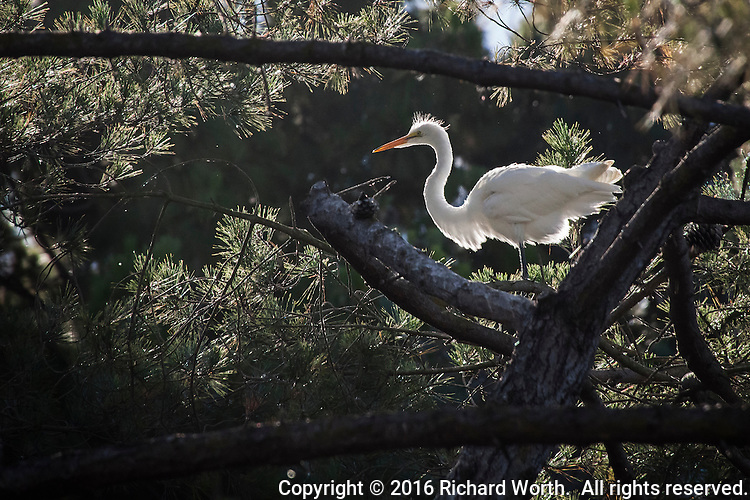 A Great egret, backlit and framed by tree branches in an urban wildlife rookery, trees in Alameda, California.