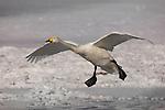 Whooper Swan, Hokkaido Island, Japan