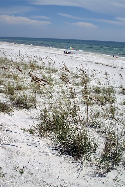 Sea Oats, Uniola paniculata, are very effect at stabilizing sand dunes.