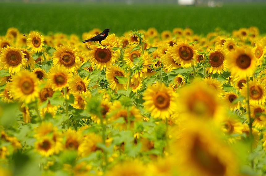 Red-winged blackbird in sunflowers, Stuttgart, Arkansas.