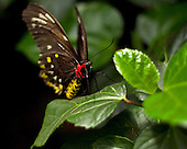 A female of Australia's largest butterfly, the Cairn Birdwing (Ornithoptera euphorion), sitting on a green leaf facing the vewer. Red and yellow body markings are clear as is the butterfy's face, probiscus, legs and antenae.