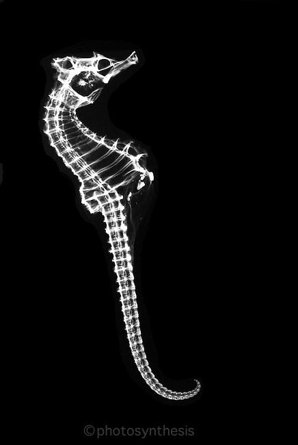 sea horse, Syngnatidae, Hippocampus guttulatus