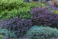 Berberis thunbergii 'Crimson Pygmy' Dwarf Japanese Barberry (purple foliage) with Taxus x media 'Densiformis', Dense Spreading Yew and silver foliage Helianthemum 'Henfield Brilliant' (Sunrose) in front of Lonicera pileata and Geranium 'Rozanne' in textured hillside shrub border - Seattle Washington, Stacie Crooks design
