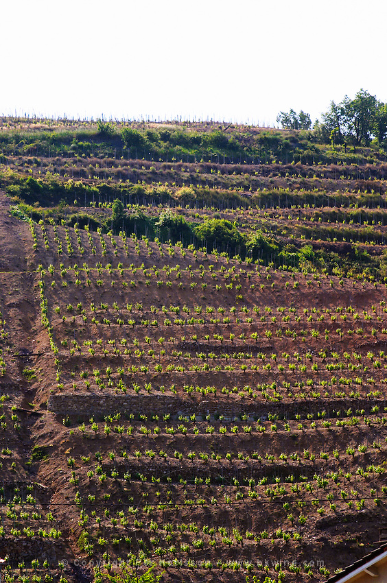 Vineyards on terraces on steep hill slopes in Saint Joseph, just north of Chateaubourg.  Saint Joseph, Rhone, France, Europe