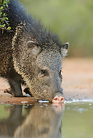 Collared Peccary, Javelina (Tayassu tajacu), adult drinking, South Texas, USA
