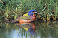 Painted Bunting, Passerina ciris,male bathing, Lake Corpus Christi, Texas, USA, May 2003