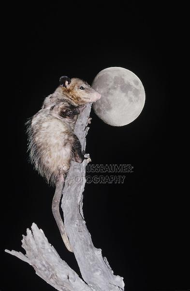 Virginia Opossum (Didelphis virginiana), adult climbing dead tree at night with moon, Starr County, Rio Grande Valley, Texas, USA