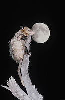 Virginia Opossum (Didelphis virginiana), adult climbing dead tree at night with moon, Starr County, Rio Grande Valley, Texas, USA
