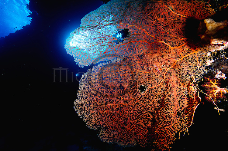 East Indonesia, large sea fans found in abundance in Misool, Raja Ampat