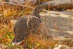 Blue Grouse (Dendragapus obscurus) female, Sierra Nevada, Sequoia National Park, California