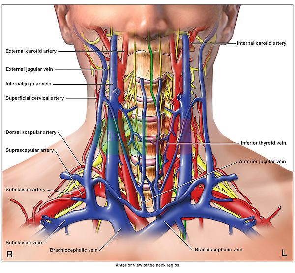 Anatomy of the Cervical Region | Doctor Stock