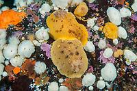 sea lemon, Peltodoris nobilis, courtship behavior, Browning Pass, British Columbia, Canada, Pacific Ocean