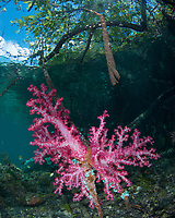 A rarely seen combination, Soft Corals, Dendronepthya sp., growing on mangrove roots in clear water. Nampele, Raja Ampat, West Papua, Indonesia, Indian Ocean