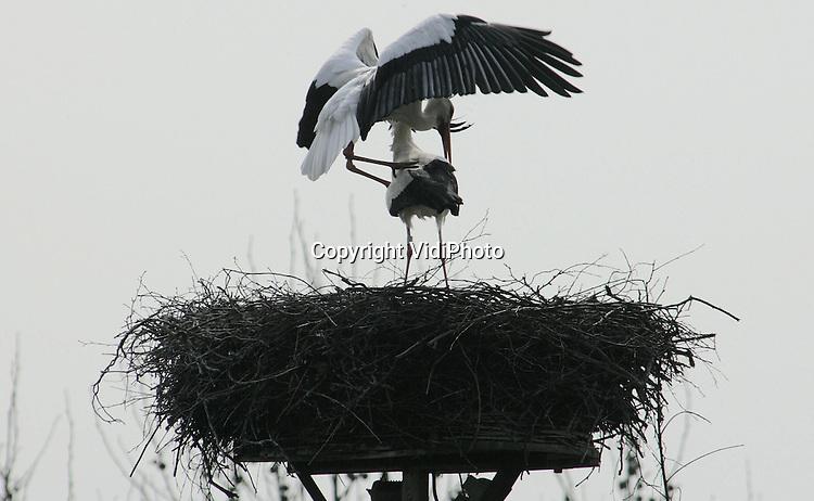 Foto: VidiPhoto..RANDWIJK - Bij het Betuwse plaatsje Randijk zijn de twee.dorpsooievaars begonnen met hun nest te renoveren en hun paringsrituelen uit te voeren. De dieren vinden zoveel voedsel in de omgeving dat ze zelfs in de winter niet meer naar het zuiden trekken, maar gewoon in de buurt van hun nest blijven.