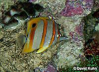 0119-08ww  Copperband Butterflyfish -Chelmon rostratus © David Kuhn/Dwight Kuhn Photography