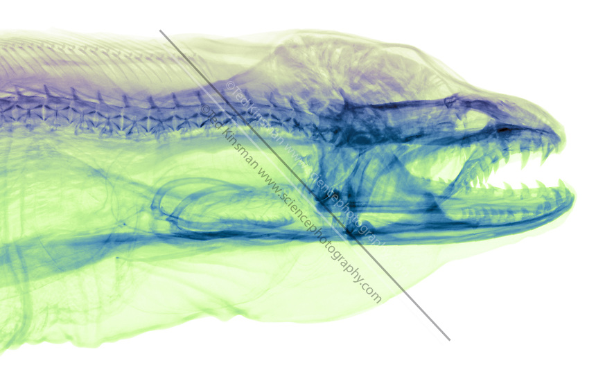 X-ray of a green moray eel (Gymnothorax funebris) note the second jaw.