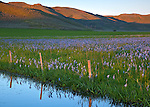 Centennial Marsh Camas Prairie, Camas County, Idaho<br /> Camas field with fence and marsh reflections, rolling hills in the background