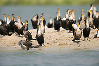 Long-tailed Cormorant, Kazinga Channel, Queen Elizabeth National Park, Uganda, East Africa