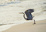 Great Blue Heron taking off from beach and surf.