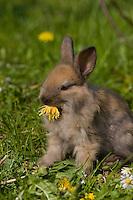 Zwerg-Kaninchen, Zwergkaninchen, auf Frühlingswiese, frisst Löwenzahn-Blüte, dwarf rabbit