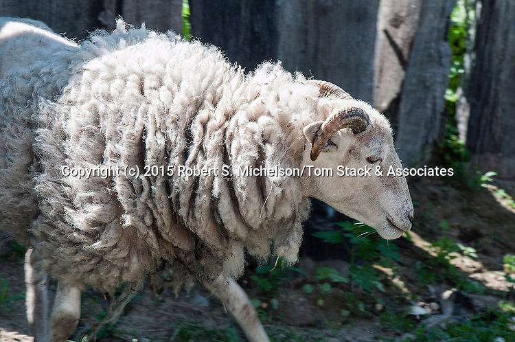 Wiltshire Horned Sheep facing right medium shot.  This species is considered to be one of the oldest species that originated in Europe.  It is still widely sought after because unlike most sheep species, the Wiltshire does not need to be sheared and will shed its wool coat every spring.