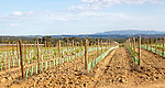 Rows of grape vines growing in springtime in a filed with view of distant mountains,  Brejão,  near Sao Teotonio, Alentejo Littoral, Portugal, southern Europe