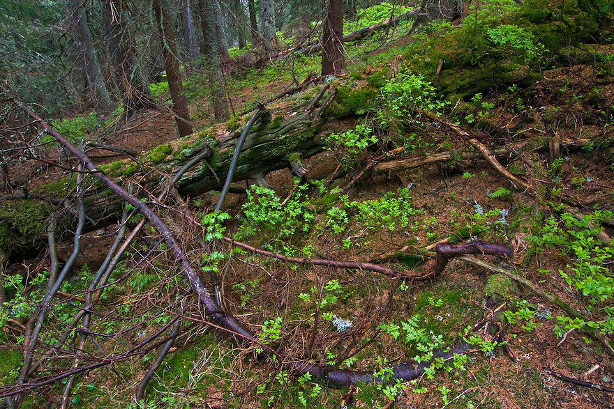 Crawling branch of fallen Spruce (Picea abies) tree with blueberry (Vaccinium myrtillus) undergrowth in old mountain forest. Western Tatras, Slovakia. June 2009. Mission: Ticha