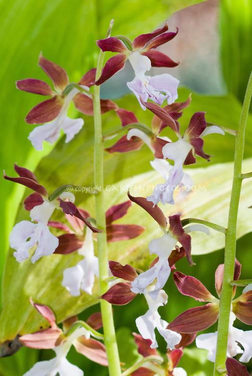 Calanthe discolor orchid species