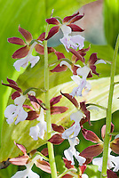 Calanthe discolor orchid species