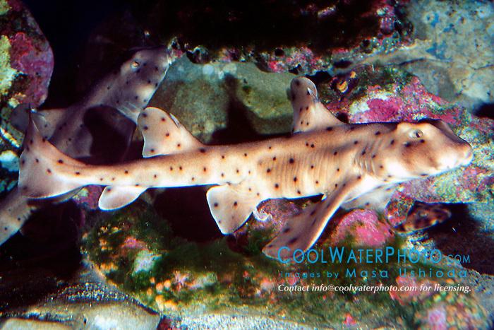 horn shark (c), .Heterodontus francisci, .Eastern Pacific Ocean.